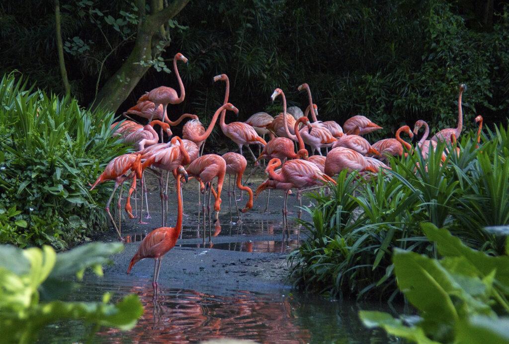 Фламинго в парке птиц Джуронг в Сингапуре