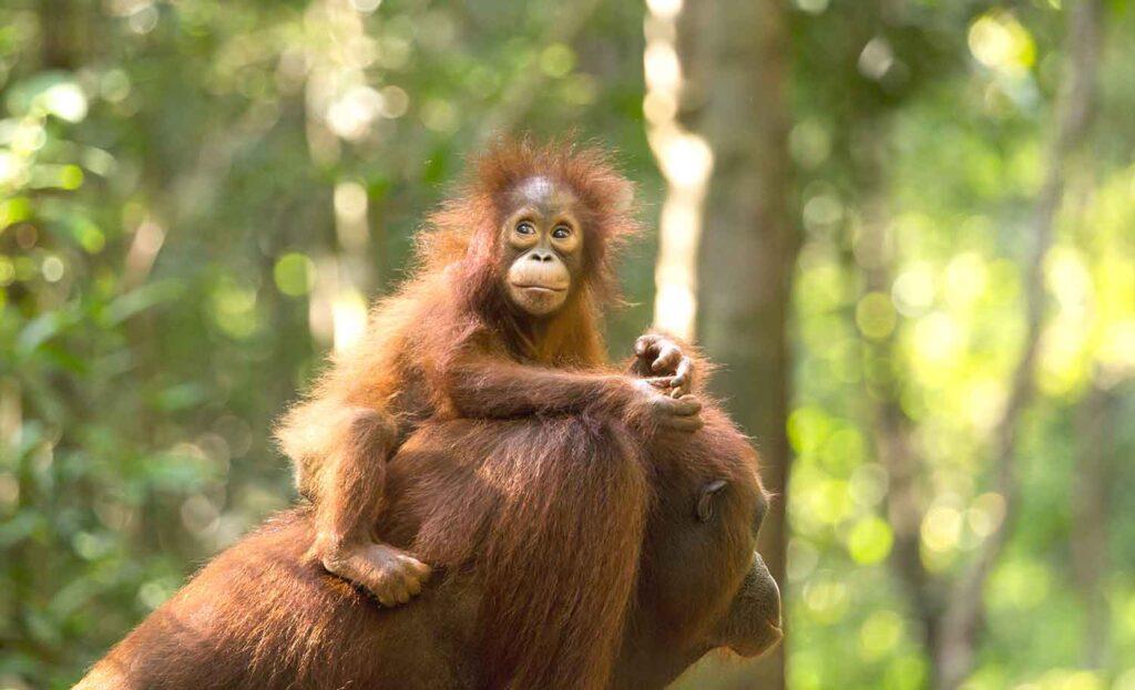 Центр орангутанов на острове Борнео в Малайзии