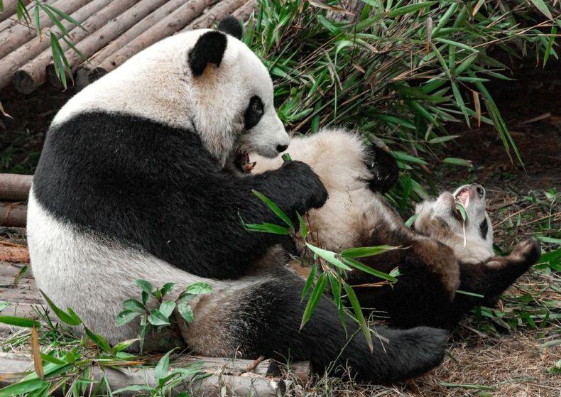 Парк панд в городе Чэнду (Китай)