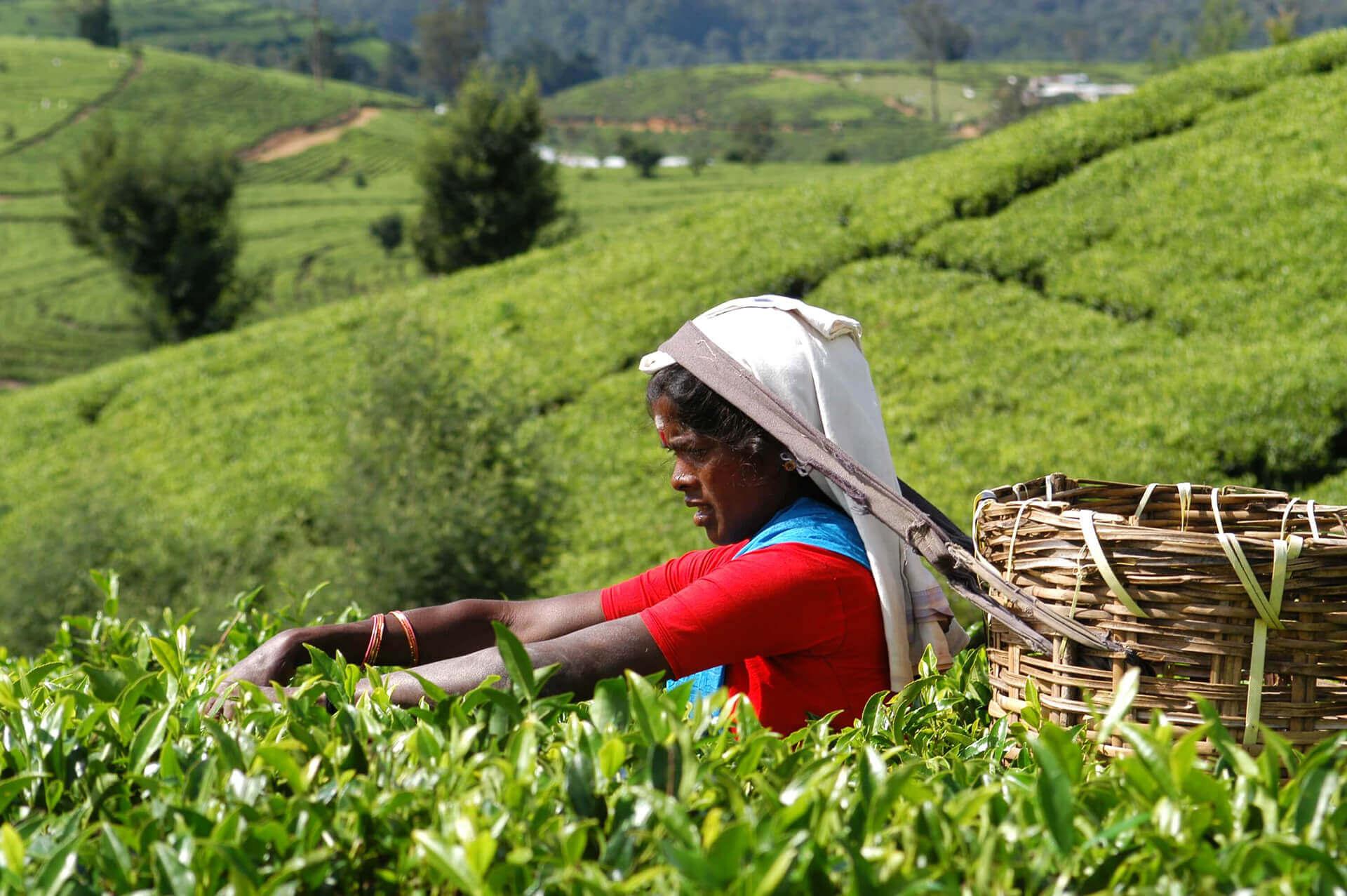 Чайные плантации в Нувара-Элии