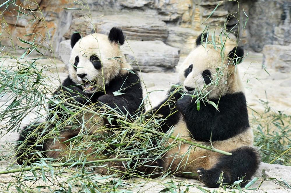 Панды в зоопарке Пекина