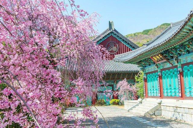 Цветение сакуры в Южной Корее