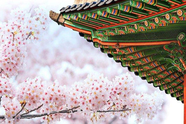 Сезон цветения сакуры в Южной Корее